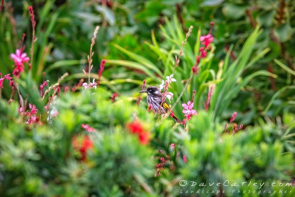 New Holland Honeyeater, Margaret River, Western Australia - Photographic Art