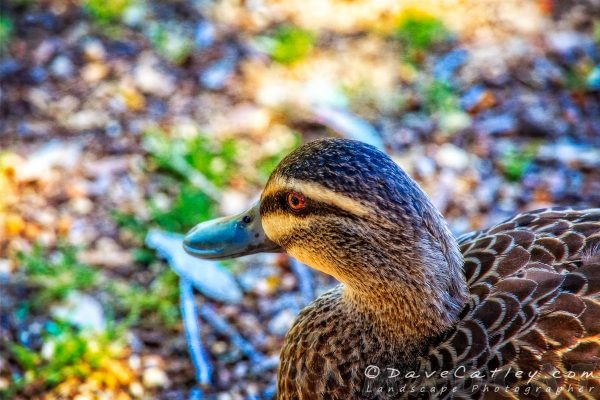 Hungry Duck, Yanchep National Park, Perth, Western Australia