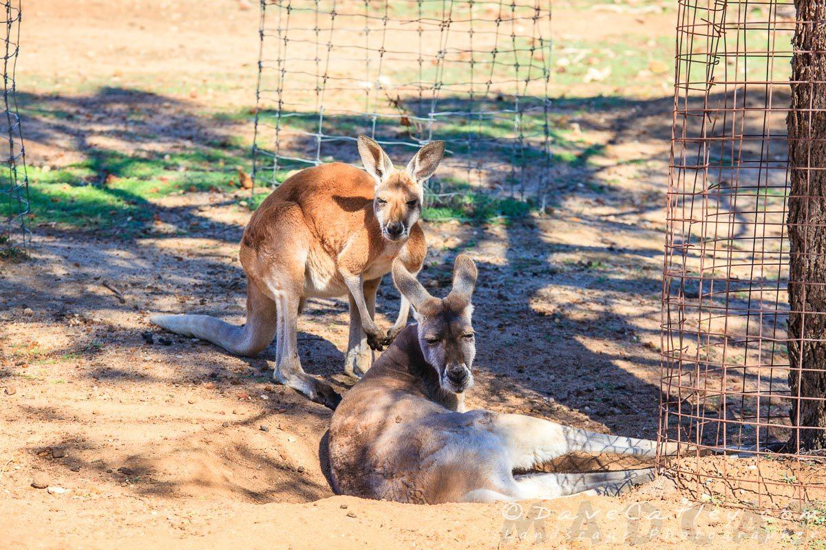 Kangaroos, Kaarakin Black Cockatoo Centre, Western Australia - MADCAT Photography