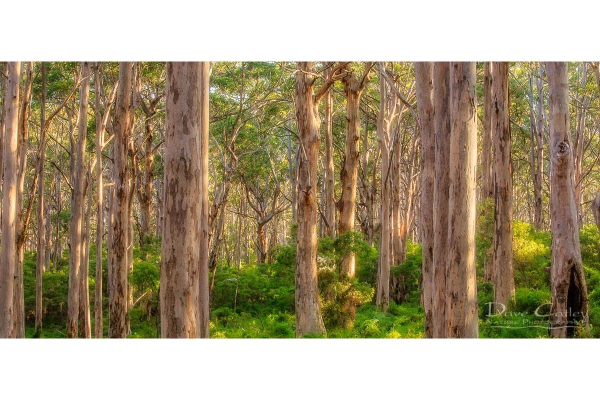 Forest Twilight 1 - Karri Trees, Boranup Forest, Margaret River, Western Australia, Landscape Mug (BFV1.1-V4-MG1)