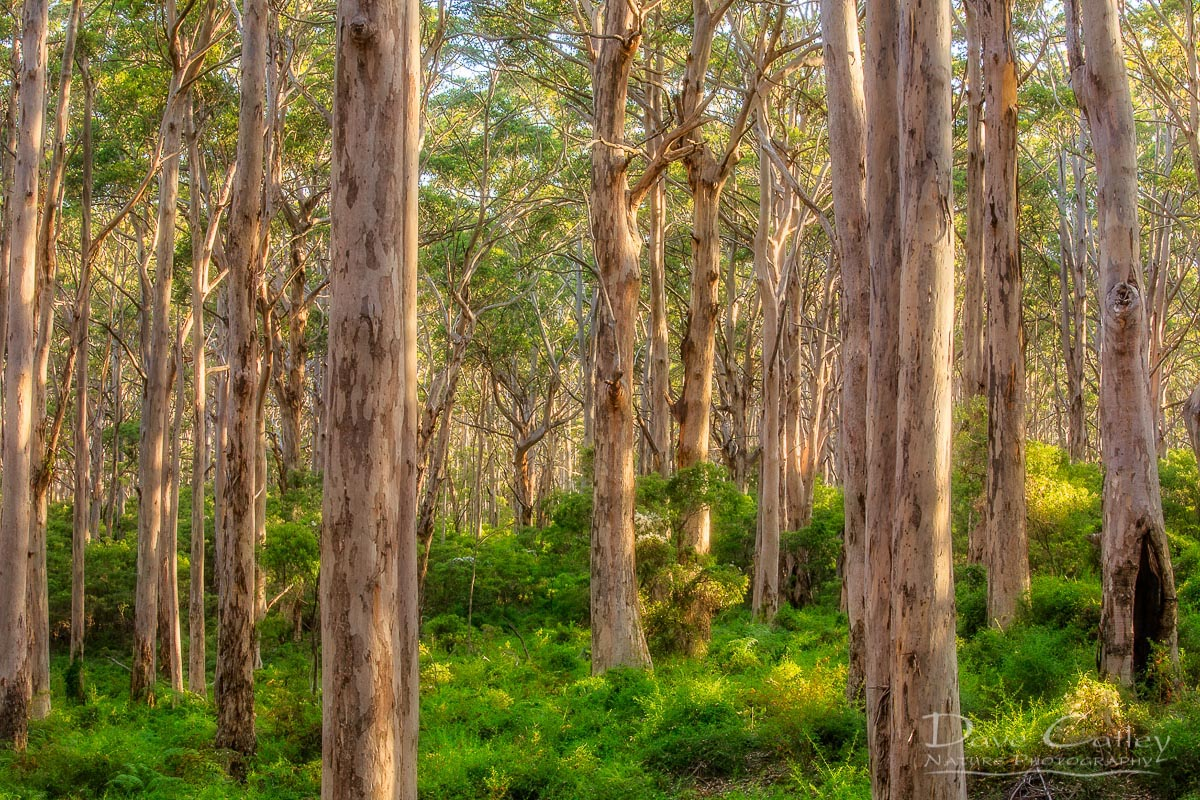 Forest Twilight 1 - Karri Trees, Boranup Forest, Margaret River, Western Australia, Landscape Print (BFV1.1-V4-TH1)