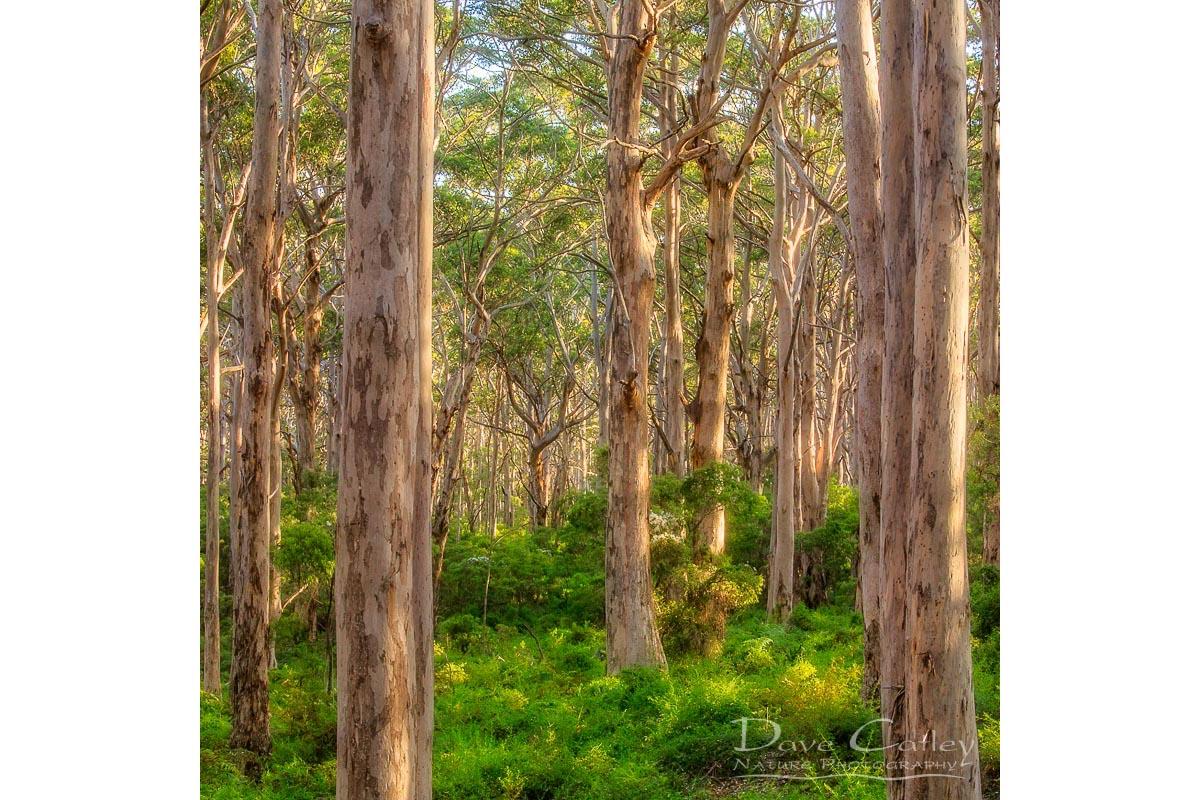 Forest Twilight 1 - Karri Trees, Boranup Forest, Margaret River, Western Australia, Landscape Tote Bag(BFV1.1-V4-TB1)