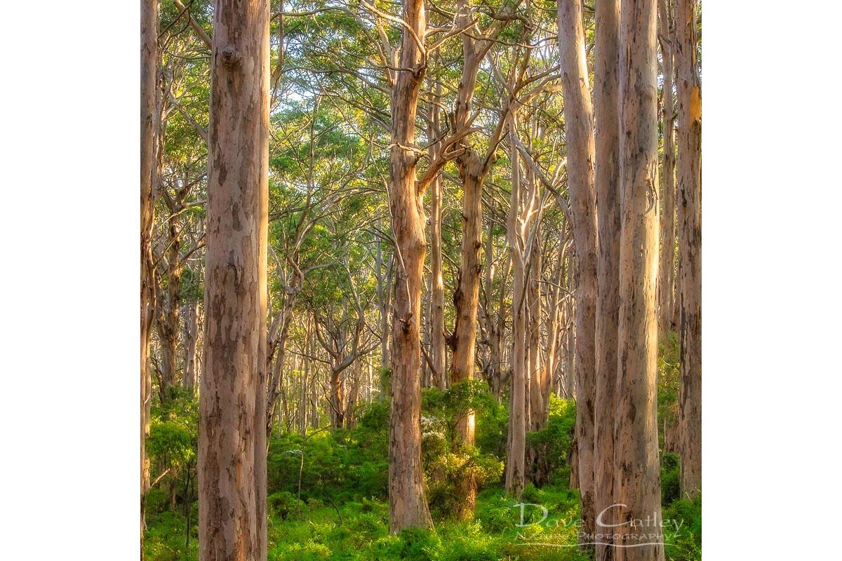 Forest Twilight 2 - Karri Trees, Boranup Forest, Margaret River, Western Australia, Landscape Cushion Cover (BFV1.2-V3-CC1)
