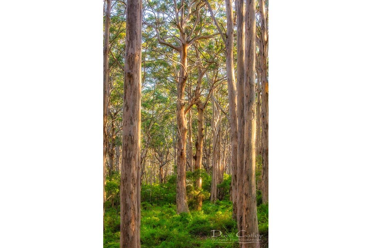 Forest Twilight 2 - Karri Trees, Boranup Forest, Margaret River, Western Australia, Landscape Print (BFV1.2-V3-TV1)