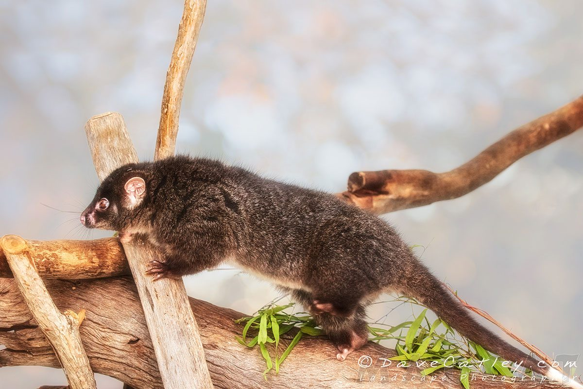 Kaya the Ringtail Possum , Native Animal Wildlife, Perth, Western Australia - Photographic Art