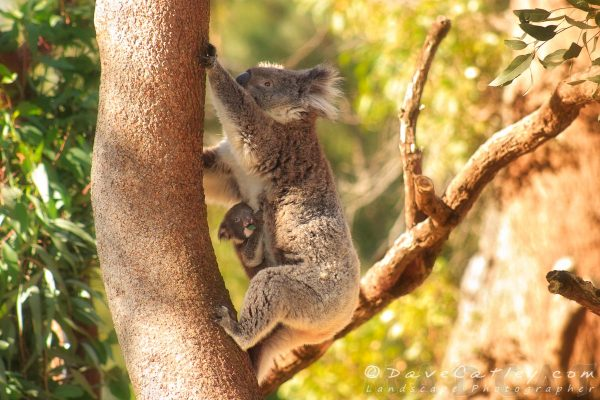 Koala and Joey, Yanchep NP, Perth, Western Australia - Photographic Art