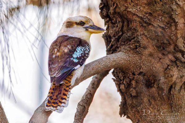 Kookaburra, Lake Monger, Perth, Western Australia