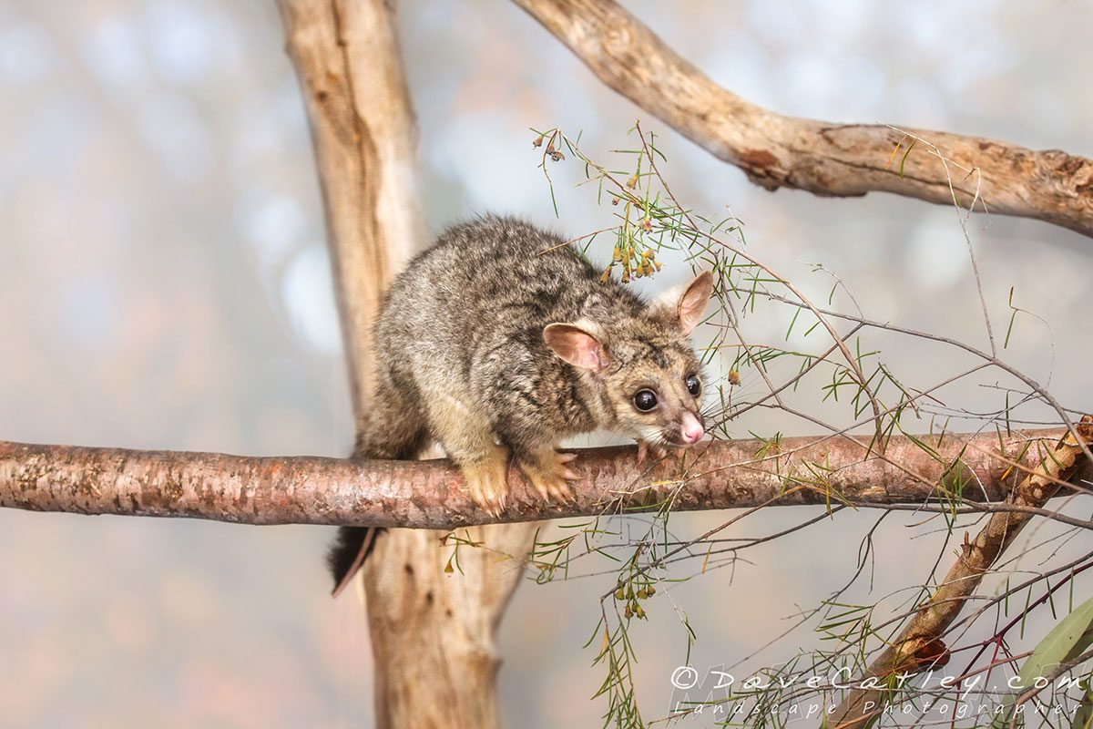 Kyle the Brushtail Possum , Native Animal Wildlife, Perth, Western Australia - Photographic Art
