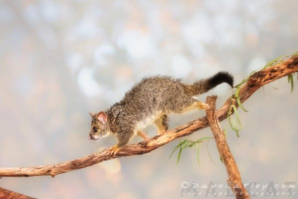 Kyle the Brushtail Possum, Native Animal Rescue, Perth, Western Australia - Photographic Art