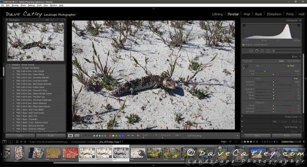 Lightroom Image 1, Stumpy the Bob-Tailed Lizard - Original Image