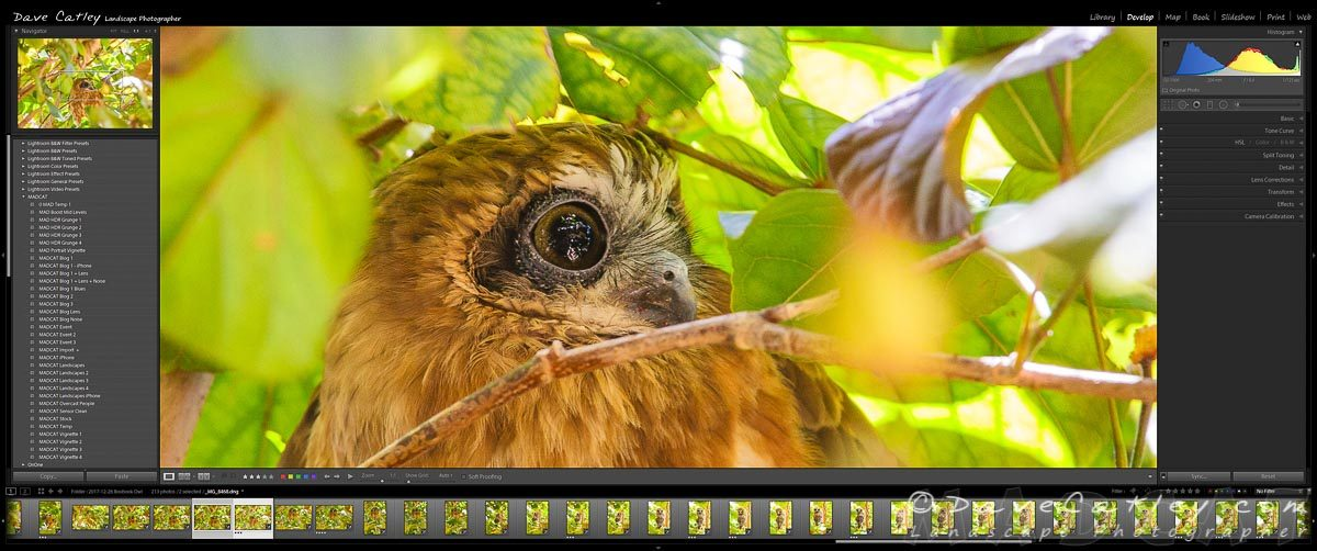 Lightroom Close Up of Southern Boobook Owl, Mindarie, Western Australia