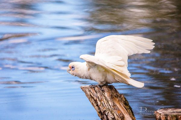 Little Corella, Lake Monger, Perth, Western Australia