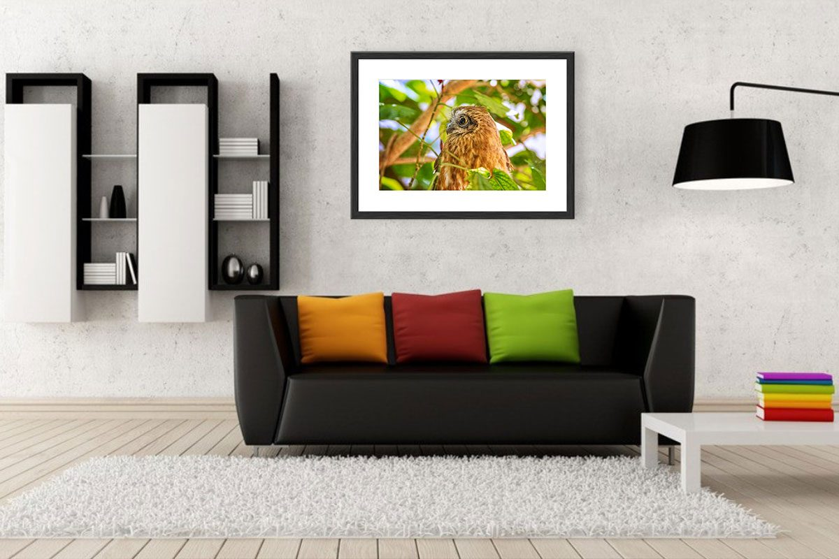 Living Room - Print + Frame - Sturts Desert Pea, Kings Park, Perth