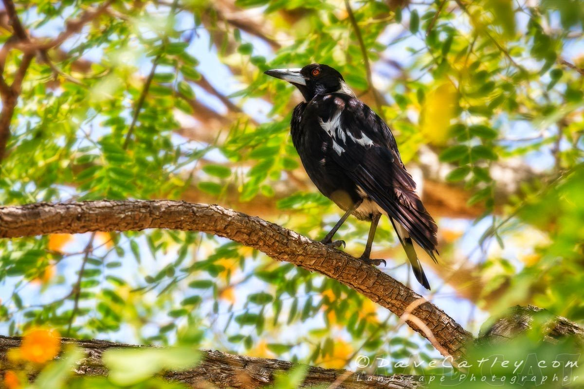 Maggie's Magpies 1, Mindarie, Perth, Western Australia, Photographic Art (WBL1.8-V1-TH1)