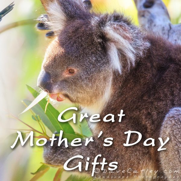 Mothers Day Gifts, Koala, Yanchep National Park, Western Australia - Photographic Art