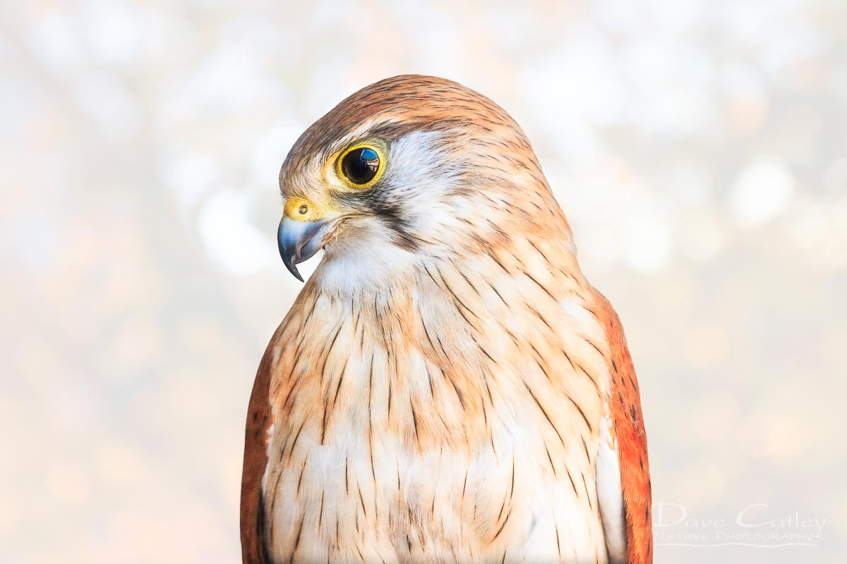 Harriet - Nankeen Kestrel, Native Animal Rescue, Perth, Western Australia, Wildlife Mug (NAR1.12-V1-MG1)