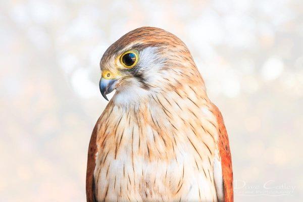 Harriet - Nankeen Kestrel, Native Animal Rescue, Perth, Western Australia, Wildlife Print (NAR1.12-V1-TH1)