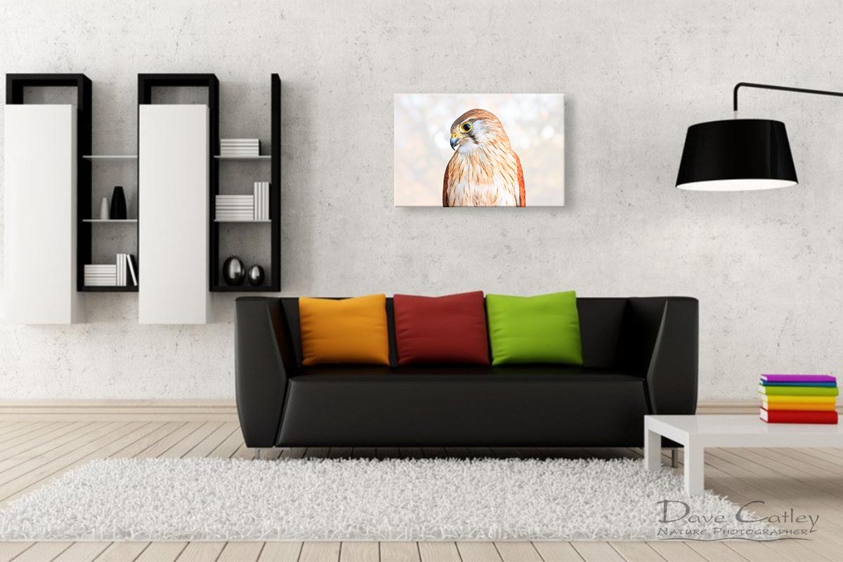 Harriet - Nankeen Kestrel, Native Animal Rescue, Perth, Western Australia, Wildlife Print (NAR1.12-V1-TH1)