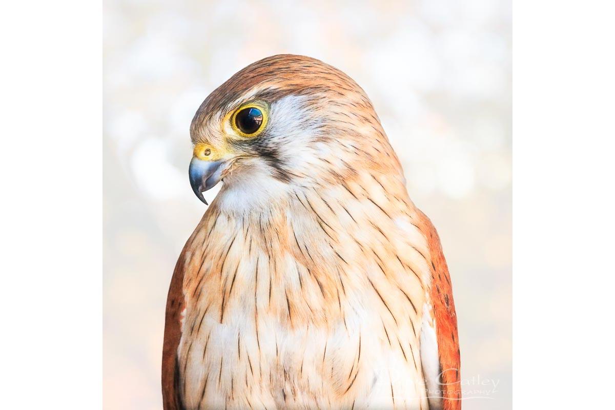 Harriet - Nankeen Kestrel, Native Animal Rescue, Perth, Western Australia, Wildlife Tote Bag (NAR1.12-V1-TB1)