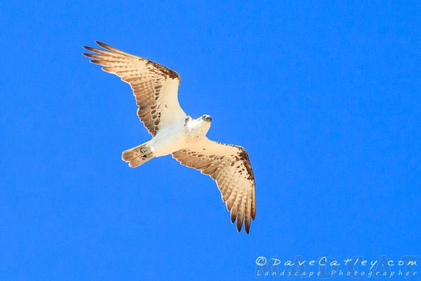 Osprey, Burns Beach, Perth, Western Australia - Photographic Art
