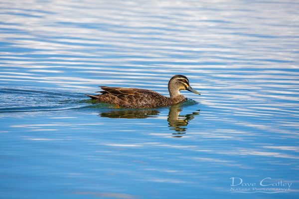 Pacific Black Duck, Lake Monger, Perth, Western Australia