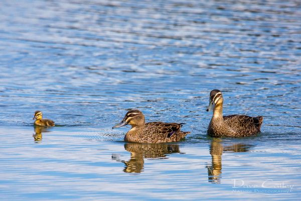 Pacific Black Ducks, Lake Monger, Perth, Western Australia