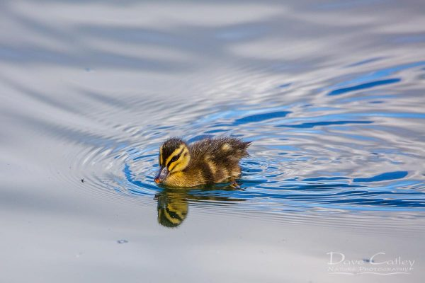 Pacific Black Duckling, Lake Monger, Perth, Western Australia
