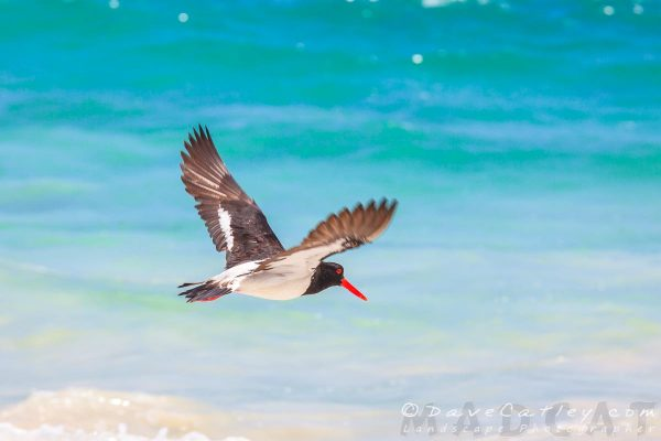 Pied Oystercatcher, Burns Beach, Perth, Western Australia - Photographic Art