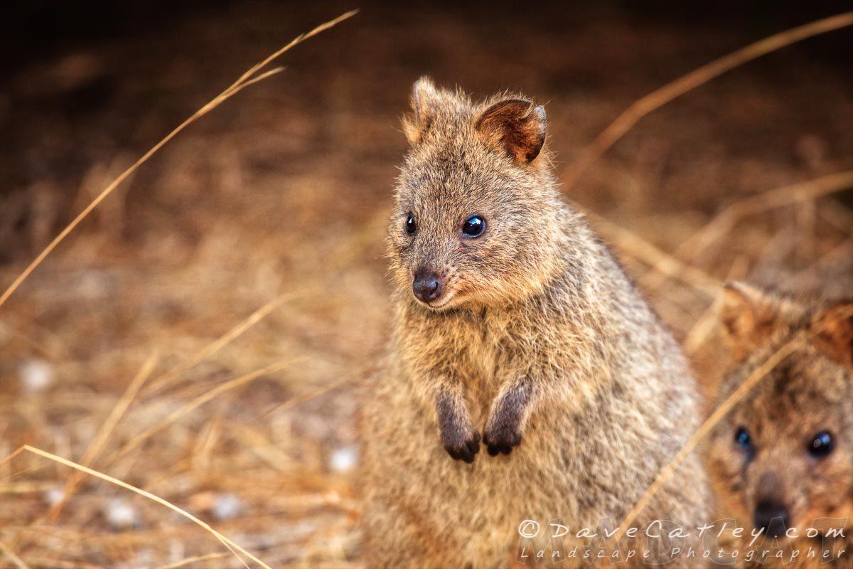 Quokka Cuteness, Rottnest Island, Perth, Western Australia - Photographic Art
