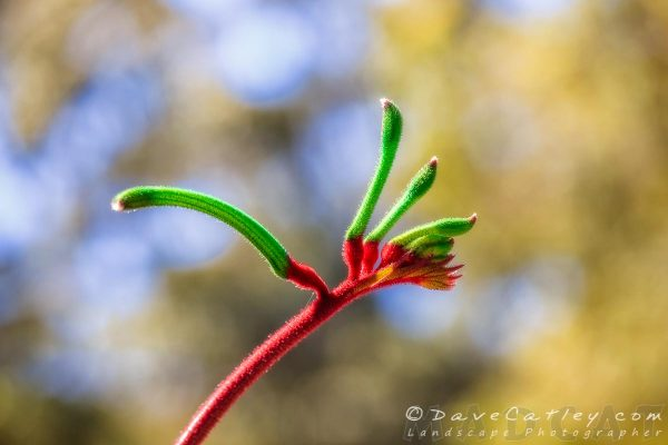 Red & Green Kangaroo Paw, Kings Park, Perth, Western Australia - Photographic Art (KPF1.2-V1)