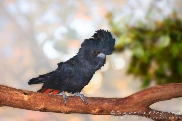Raf the Red-Tailed Black Cockatoo, Native Animal Rescue, Perth, Western Australia - Photographic Art
