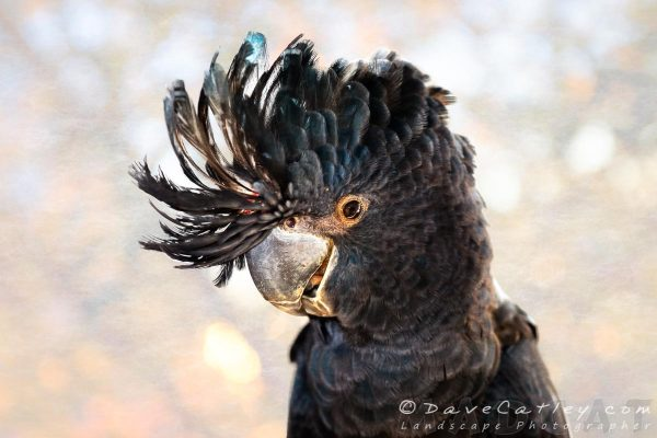 Red-Tailed Black Cockatoo, Native Animal Rescue, Perth, Western Australia - Photographic Art