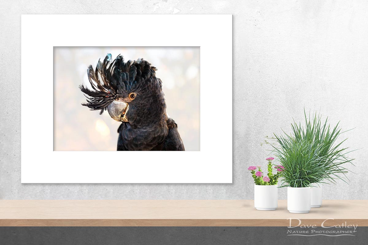 Scruffy - Red-Tailed Black Cockatoo, Native Animal Rescue, Perth, Western Australia, Wildlife Print (NAR1.11-V2-TH1)