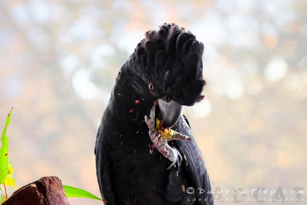 Red Tailed Black Cockatoo, Exploding Nuts, Perth, Western Australia - MADCAT Photography