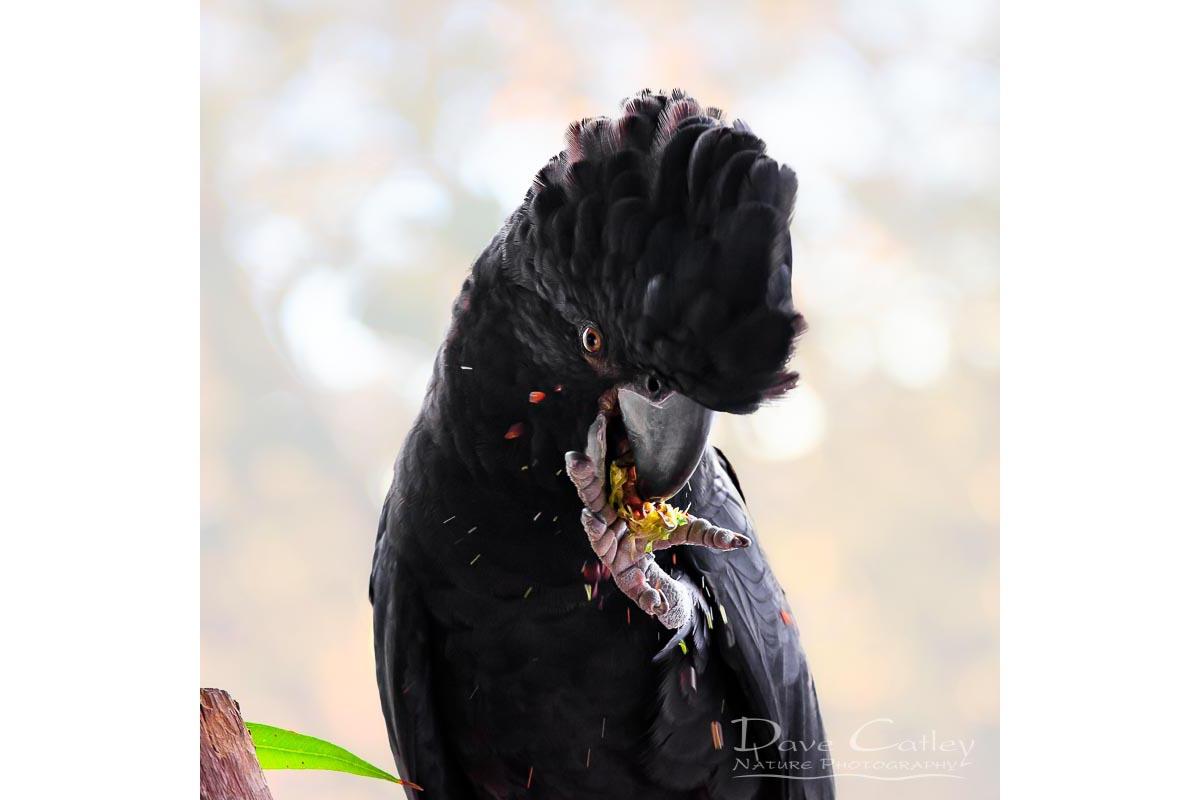 Exploding Nuts - Red Tailed Black Cockatoo, Native Animal Rescue, Perth, Western Australia, Wildlife Tote Bag(NAR1.17-V1-TB1)