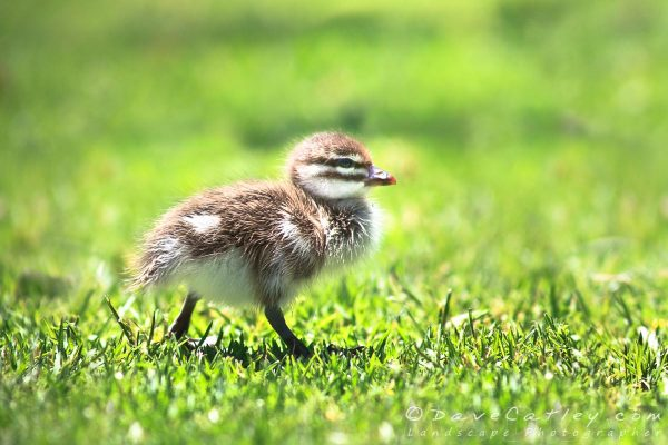 Australian Wood Duckling, Yanchep National Park, Perth, Western Australia - Photographic Art