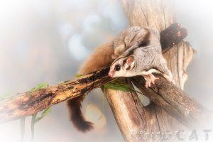 Sally the Sugar Glider, Native Animal Wildlife, Perth, Western Australia - Photographic Art