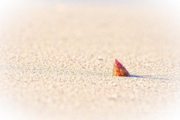 Simplicity - Sea Snail Shell, Carnac Island, Perth, Western Australia, Wildlife Print (CIS1.1-V1-TH1)
