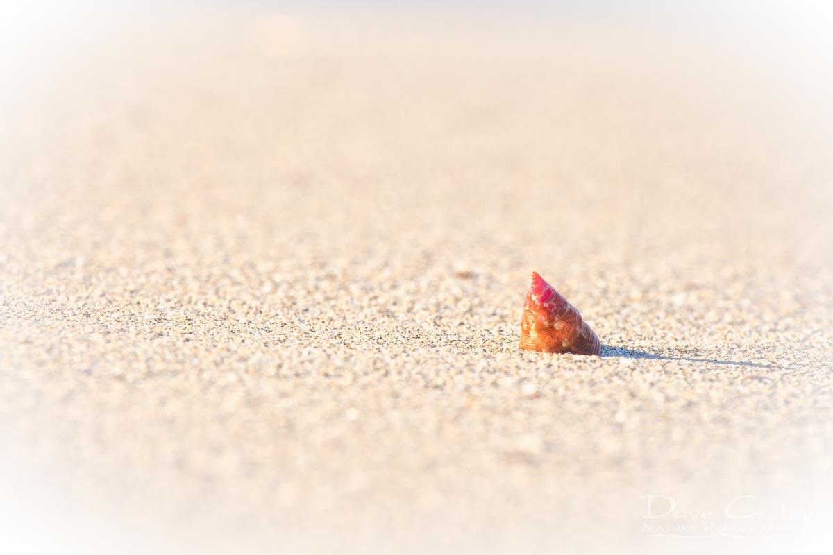 Simplicity - Sea Snail Shell, Carnac Island, Perth, Western Australia, Wildlife Print (CIS1.1-V1-TH1)