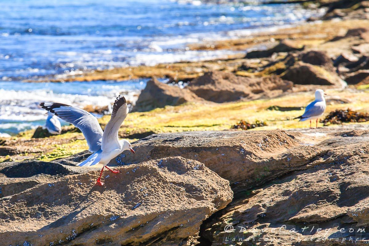 Silver Gulls, Burns Beach, Perth, Western Australia - Photographic Art