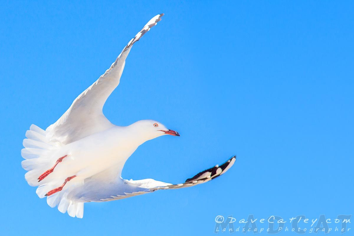 Silver Gulls, Burns Beach, Perth, Western Australia - Photographic Art