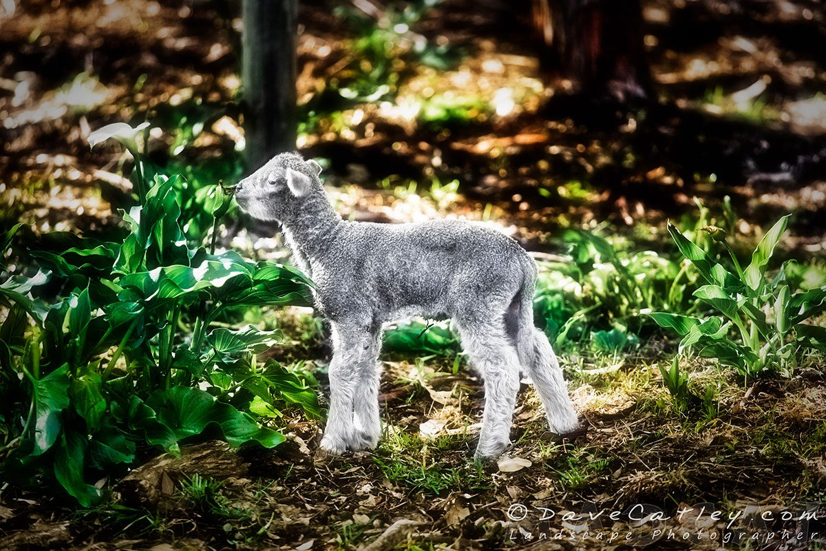 Silver Lamb, Bushy Lakes, Margaret River, Photographic Art