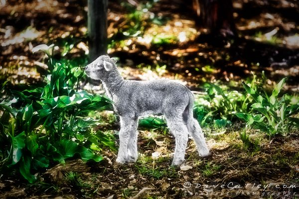 Silver Lamb, Bushy Lakes, Margaret River, Photographic Art