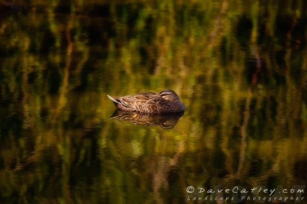 Sleepy Duck, Yanchep National Park, Perth, Western Australia - Photographic Art