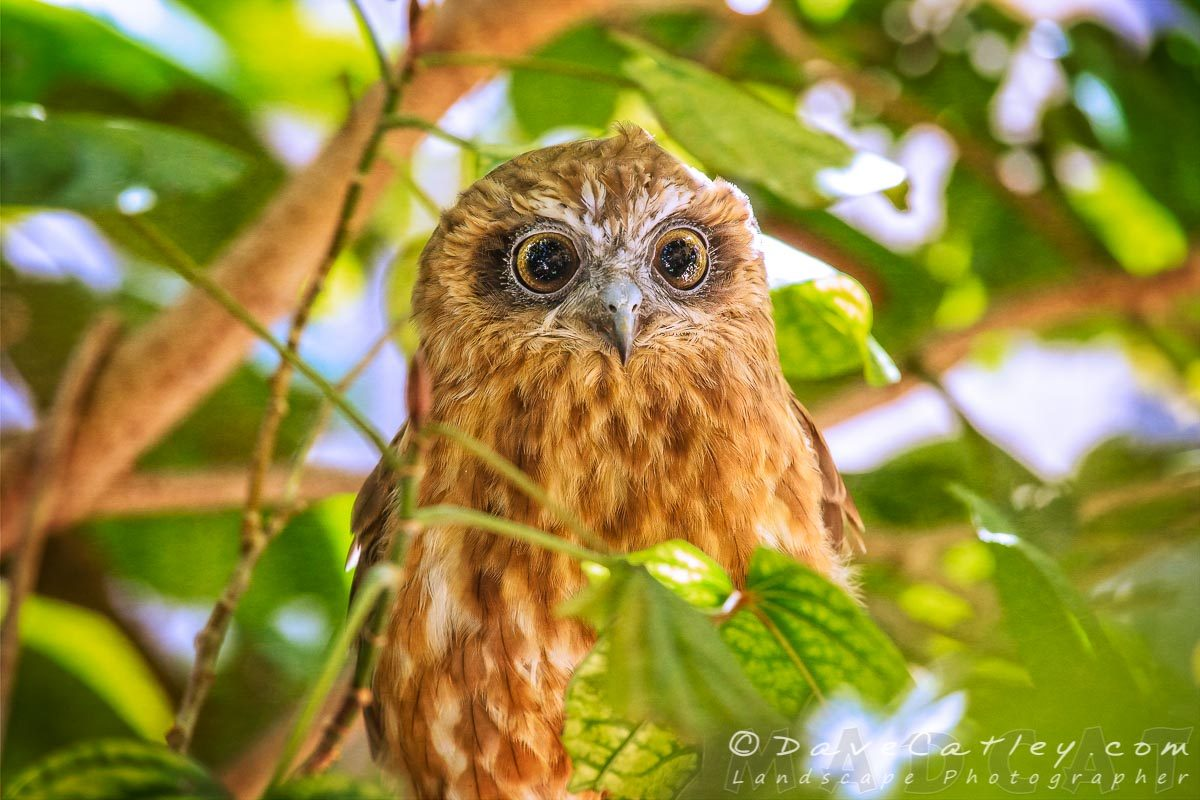 Southern Boobook Owl, Mindarie, Perth Photographic Art