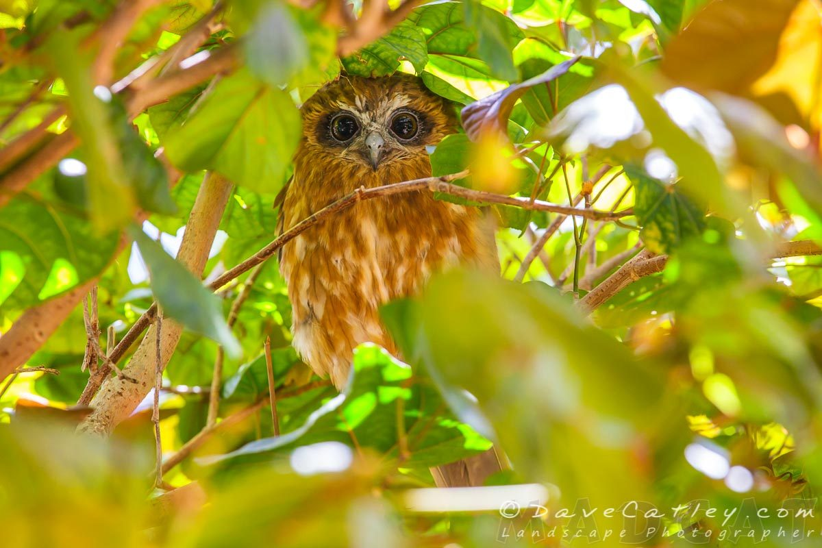 Southern Boobook Owl, Mindarie, Perth, Photographic Art