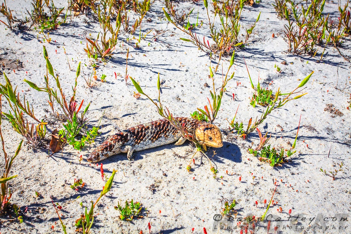 Lightroom - Stumpy the Bobtail Lizard, Whiteman Park, Perth, Western Australia