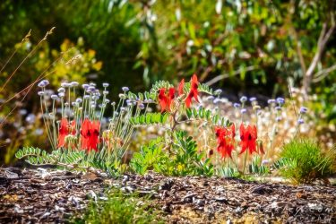 New Image Release – Sturt's Desert Peas in Kings Park