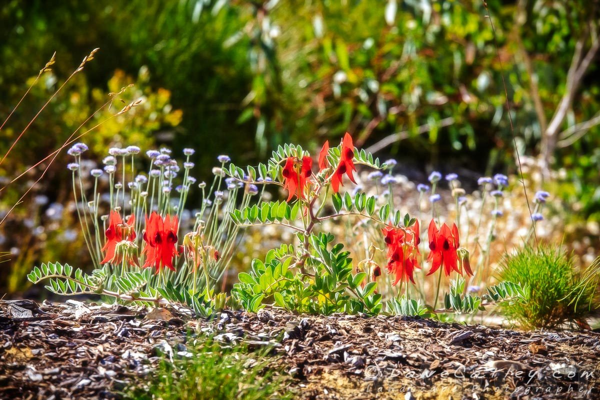 Sturt's Desert Pea, Kings Park, Perth, Western Australia - Photographic Art