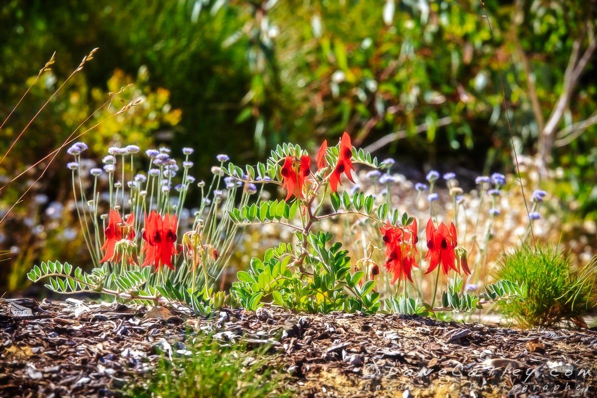 Sturt's Desert Pea, Kings Park, Perth, Western Australia